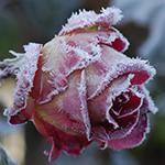 RoseFrost